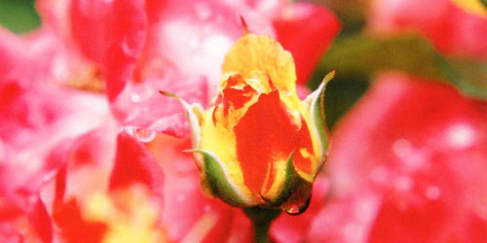 薔薇百景 金子彰 写真展